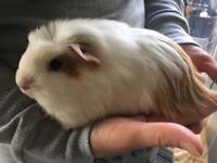 Young Guinea Pigs for sale
