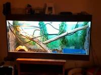 Chinese water dragon adult pair and 6ft enclosure