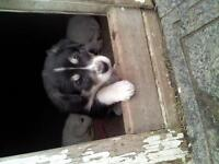 Great Pyrenees husky mix puppies
