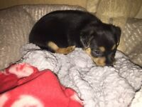 5 wk Old female Jack Russell
