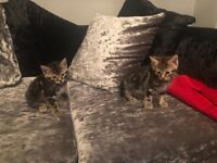 Tabby kittens 8 weeks ready for good homes