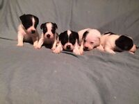 Jack Russell Pups - Ready to go