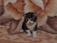 5 mix siberian kittens for sale