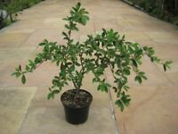 Narrow Leaf Garden Shrub Which Gives Red Berries for £8.00