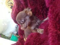 Apple head Chihuahua bitch