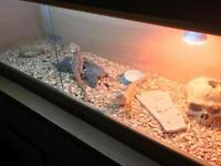 4ft Vivarium / Tank, with blood red bearded dragons x2