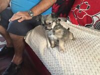 BEAUTIFUL LITTLE GIRL CHIHUAHUA PUPPY FOR SALE