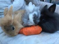 Lionhead/dwarf lop-eared bunnies