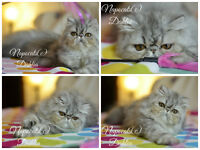 Exotic Shorthair Kittens (FIFE Registered, Napocats Cattery)