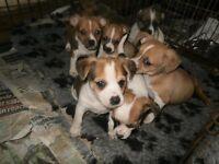 chihauhau x mini jackrussel male pup
