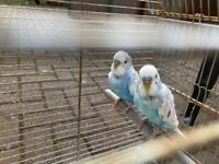 2 male budgies for sale with cage £50