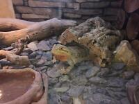 Beardie With Complete Set Up