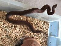 Rare python python