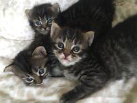 X Norwegian Forest Cat Kittens