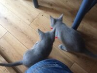 Russian blue Kittens ready now gccf reg