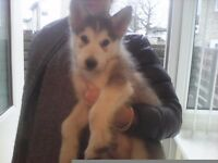 Gorgeous huskamute male puppy