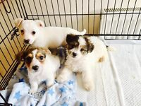 Absolutely beautiful puppies for sale