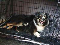 4 male collie x Huntaway puppies