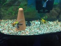 Angel fish & set up