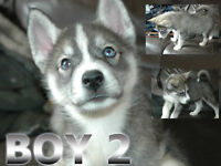 HUSKY PUPPIES FOR SALE - Now only 2 Boys and 1 Girl left