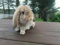 Rabbit for sale to good home