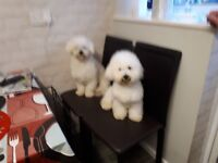 I have a 8 months old bichon frise girl and a 13 months old cavacon cross bichon frise boy