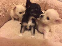 Chihuahua Long Hair Pedigree Puppies