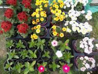 Garden Bedding Plants Flowers Hanging Baskets