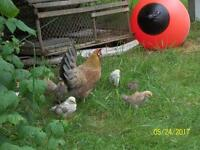 15 banty chicks and 2 hens sussex area