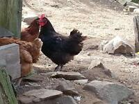 Black Sex Link and Copper Maran Hens! Laying!