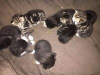 BEAUTIFUL MIX BREED BENGAL MAINE COON KITTENS