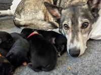 Cocker Spaniel X Husky/Whippet cross puppies