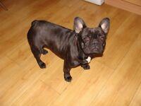 french bulldog