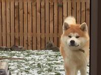 Japanese Akita Inu full breed