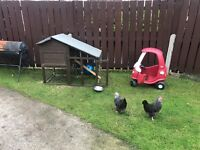 Chickens for sale and chicken coupe with it