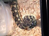 Male and Female pair of Carpet pythons