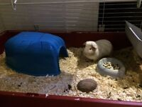 Adorable male guinea pigs with all accessories