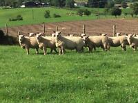 Charollais and half bred rams