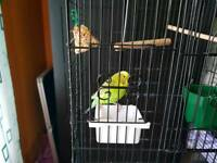 Budgie+cage