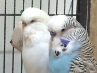 Pair of Exhibition budgie for sale