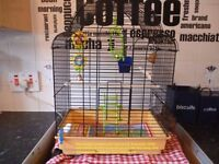 Baby Budgie Complete with Cage and all Accessories.