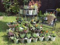 Garden hanging baskets, pots, buckets, summer trailing flowers