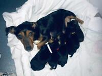 Miniature Jackrussell puppies