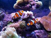 Pair of lovely adult clowfish
