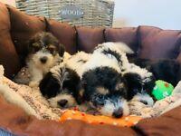 Stunning jackapoo puppies/ health test clear