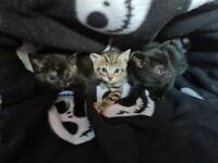 3 lovely 8 week old kittens for sale