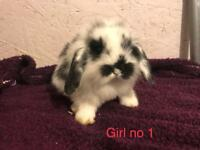 Mini lion lop bunnies x 5