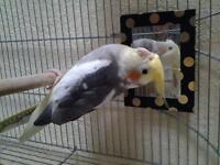 Cocatiel bird and cage