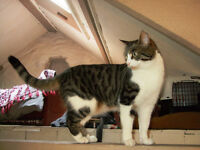 SIMBY TABBY/WHITE DSH FEMALE MISSING.