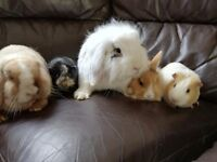 2 bonded male guinea pigs 7 months old